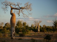 foret baobabs ifaty