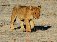 bébé lion au parc national d'Etosha