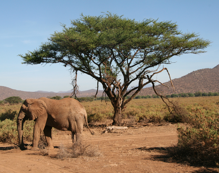 Elephant de la réserve nationale de Samburu