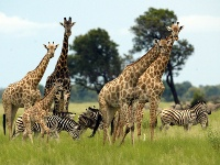 girafes kafue national park