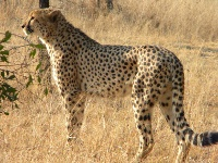 guépard du cheetah conservation fund