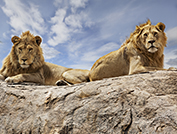 voyage fly in tanzanie nord lions intro