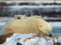 voyage grand nord canadien ours blanc Churchill